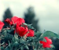 一个开花的狂放的玫瑰色宏指令的芽 库存照片