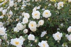 一个开花的玫瑰丛 它用白花盖 库存图片