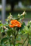 一个开花的白种人明亮的桔子的特写镜头上升了与芽 库存照片