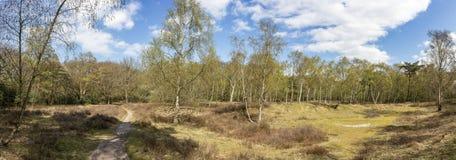 一个开阔地带的全景照片与草、希斯植物和桦树的在春天颜色的风信花森林里在公园Ockenb 图库摄影