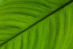 一个异乎寻常的植物特写镜头的美丽的绿色叶子 库存照片