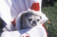 戴一个微小的圣诞老人帽子在Doo Dah游行,帕萨迪纳,加利福尼亚的小狗 免版税库存图片