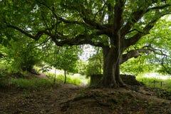 一个悬铃树树干和分支与在底下垄沟和小径 在Abbotsbury附近,英国,英国 免版税图库摄影