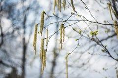 一个惊人的开花桦树 背景蓝色云彩调遣草绿色本质天空空白小束 免版税库存图片