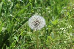 一个惊人的蒲公英在夏天开了花 他已经是成熟的并且有蓬松白色伞 库存图片