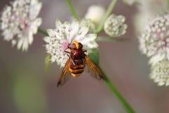 一个惊人的镶边大黄蜂在庭院里授粉一朵astrantia花在夏天 免版税库存图片
