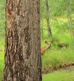 一个意想不到的访客-一样仍然作为在树的一个分支一只美丽的长耳鹿母鹿 库存图片