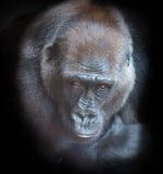 一个成人大猩猩的画象 库存图片