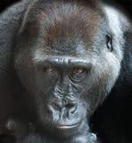 一个成人大猩猩的画象 免版税图库摄影