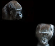 一个成人大猩猩的画象 免版税库存图片