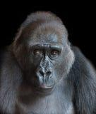 一个成人大猩猩的画象 免版税库存照片