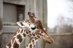 一个成人长颈鹿特写镜头的头 长颈鹿在动物园鸟舍 库存照片