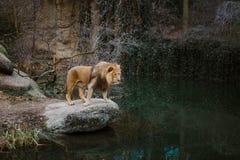 一个成人非洲狮子男性在岩石壁架站立并且看湖,它的疆土的一个池塘在冷的海期间的动物园的 图库摄影
