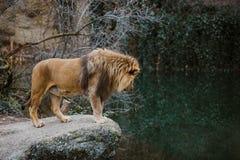 一个成人非洲狮子男性在岩石壁架站立并且看湖,它的疆土的一个池塘在冷的海期间的动物园的 免版税图库摄影