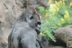 一个成人黑大猩猩 免版税库存图片