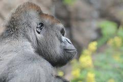 一个成人黑大猩猩 库存图片