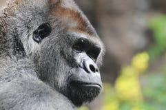 一个成人黑大猩猩 免版税图库摄影