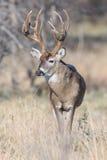 一个成熟白尾鹿大型装配架的画象 库存图片