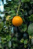 一个成熟白色葡萄柚 库存图片