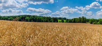 一个成熟的油菜籽的领域在夏天风景的 芸苔napus 免版税库存照片