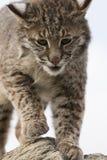 一个成熟美洲野猫的特写镜头 免版税库存照片