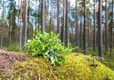 一个成熟蓝莓的布什在夏天森林里 免版税库存图片