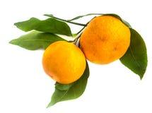 一个成熟蜜桔的分支与被隔绝的绿色叶子的 库存照片
