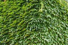 一个房子的墙壁有用常春藤盖的 图库摄影