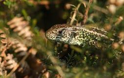 一个掩藏在下木的罕见的砂蜥蜴蝎虎座agilis 库存照片