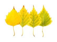 一个摧毁的秋季桦树的一套的特写镜头照片 库存照片
