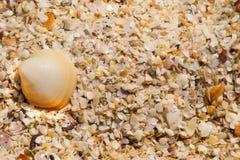 一个整个贝壳和是海壳很多裂片  免版税库存图片