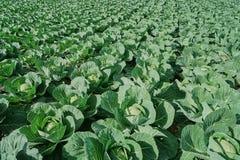 一个新近地增长的圆白菜领域的看法 顶视图,晴天 免版税库存照片