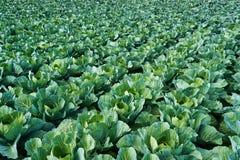 一个新近地增长的圆白菜领域的看法 顶视图 免版税图库摄影