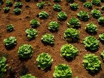 一个新近地增长的圆白菜领域 免版税库存照片