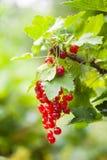 一个无核小葡萄干的分支在灌木的 库存照片