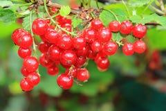 一个无核小葡萄干的成熟莓果在分支的 E 免版税图库摄影