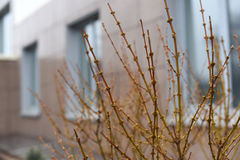 一个早春天城市风景:反对大厦的窗口的分支 免版税图库摄影