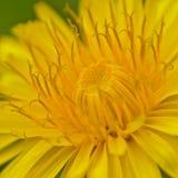 一个明亮的黄色蒲公英的心脏的宏指令开花-蒲公英 库存照片