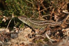 一个晒日光浴在下木的罕见的砂蜥蜴蝎虎座agilis 库存图片