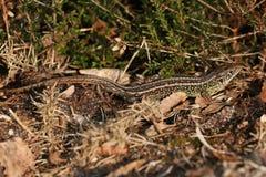 一个晒日光浴在下木的罕见的砂蜥蜴蝎虎座agilis 库存照片