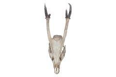 一个有角的动物的头骨 库存照片