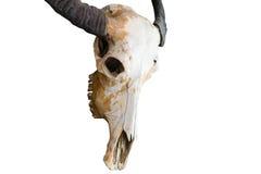 一个有角的动物的头骨 免版税库存照片