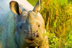一个有角的印地安犀牛面孔特写镜头 免版税库存照片