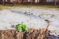 一个木树桩的绿色发芽厂 库存照片