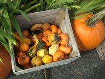 一个木箱的图片五颜六色的金瓜 免版税图库摄影