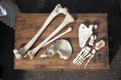 一个未知的动物的骨头和头骨 库存照片