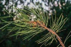一个杉木分支在森林里 库存照片