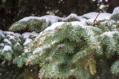 一个杉木分支的冬天风景在雪的 免版税图库摄影