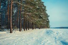 一个杉木森林的边缘在冬天 库存图片