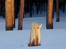 一个杉树树桩在冬天森林里 库存照片